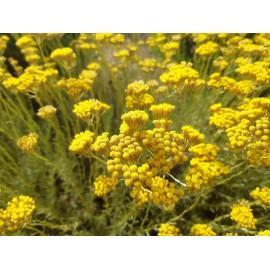 Immortelle de Corse - Plante et fleurs