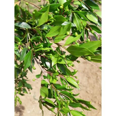 Myrte Vert