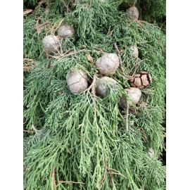 Huile Essentielle de Cyprès Vert FR-BIO-01