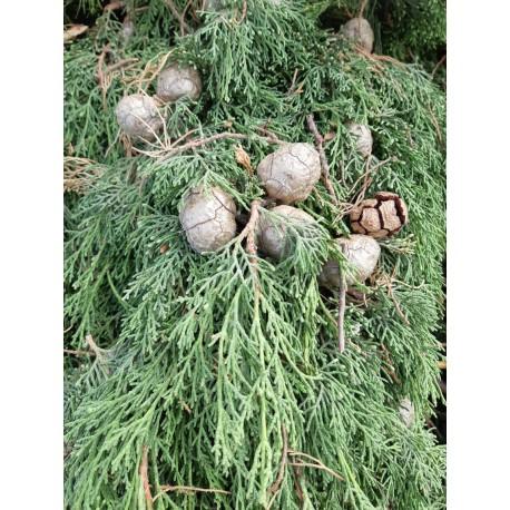 Huile Essentielle de Cyprès Vert FR BIO 01