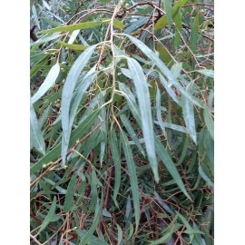 Huile Essentielle d'Eucalyptus Globulus FR-BIO-01