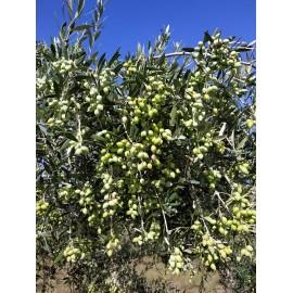 Huile d'olive 3 litre (3ème année de conversion Bio)